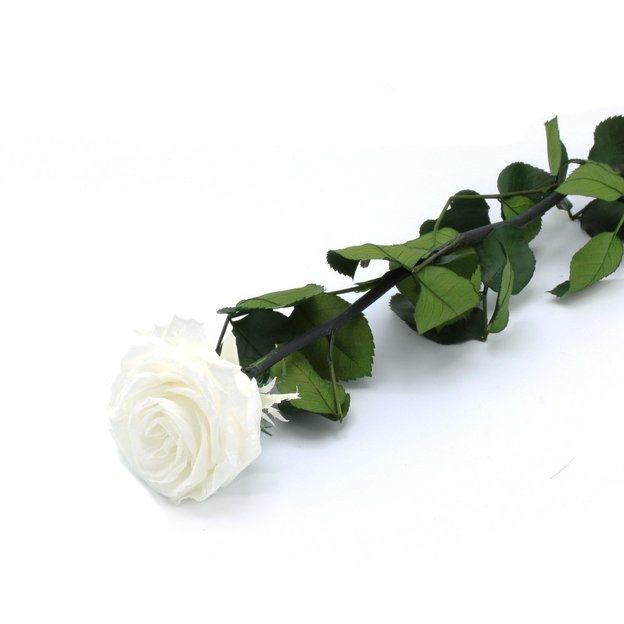 Rose à vie - blanche