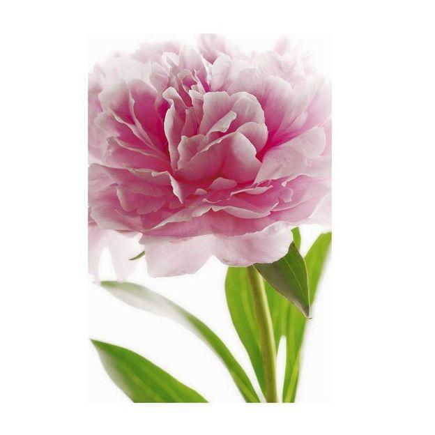 Poster Pivoine rose