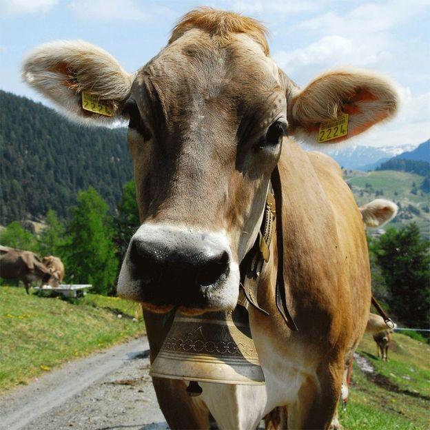Kuh Patenschaft für 1 Jahr
