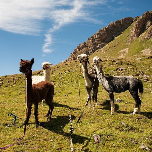 Alpaka Trekking auf Torrent (Kind)