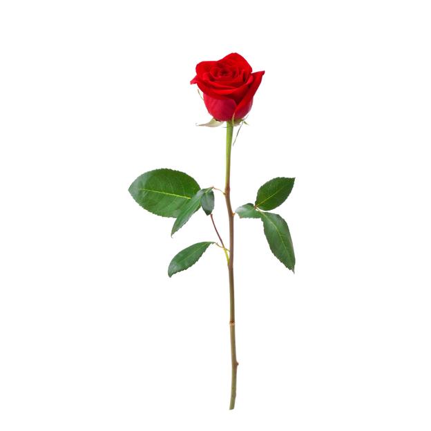 Rosen rot Gr. 01er Bund