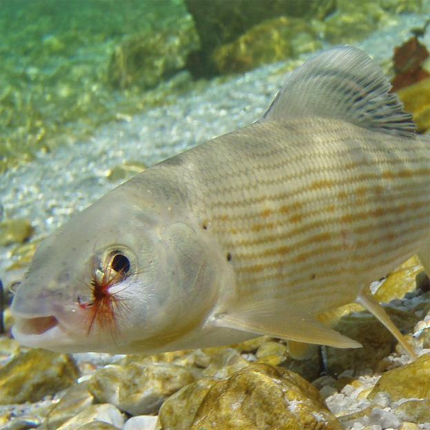 Fliegenfischen mit Privat Guide