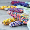 Regenbogen Maiskolben Aufzuchtset