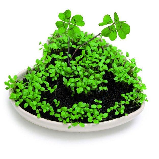 Klee Pflanze in Herzform