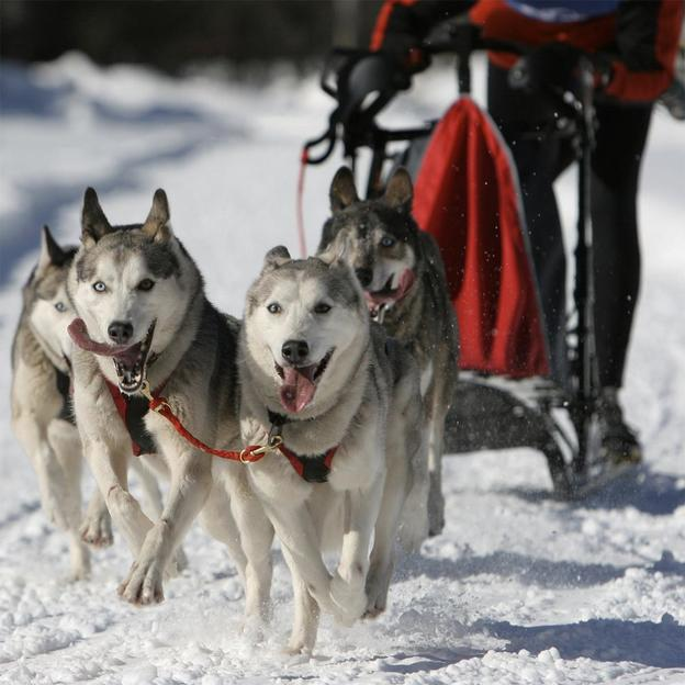 Wagentraining mit Huskies (für 1 Person)