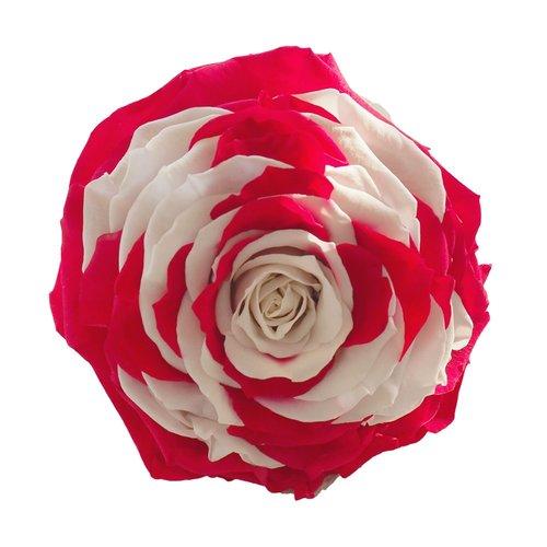 XXL Rose Schweizer Flagge