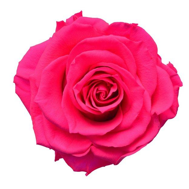 Rose XXL pink