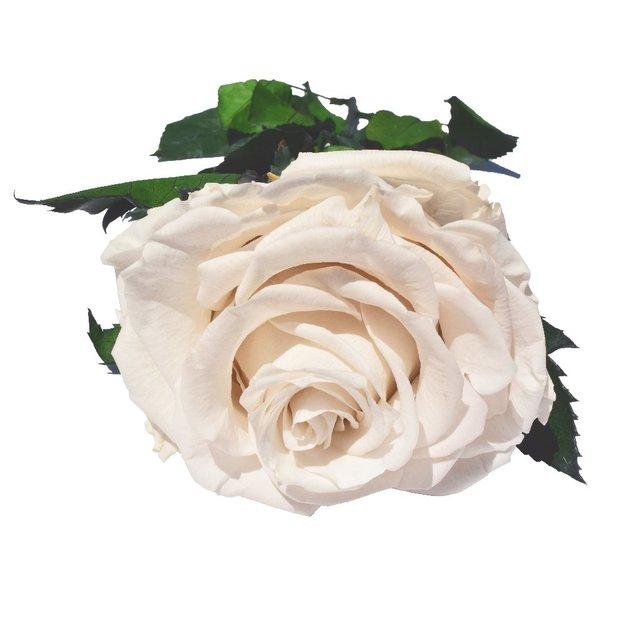 Rose XXL sur tige blanche