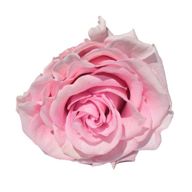 Rose avec tige XXL longue vie – rose