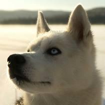 Husky Abenteuer im Berner Oberland (für 1 Person)