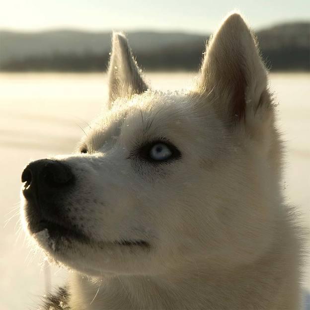 Husky Abenteuer (1 Person) im Berner Oberland