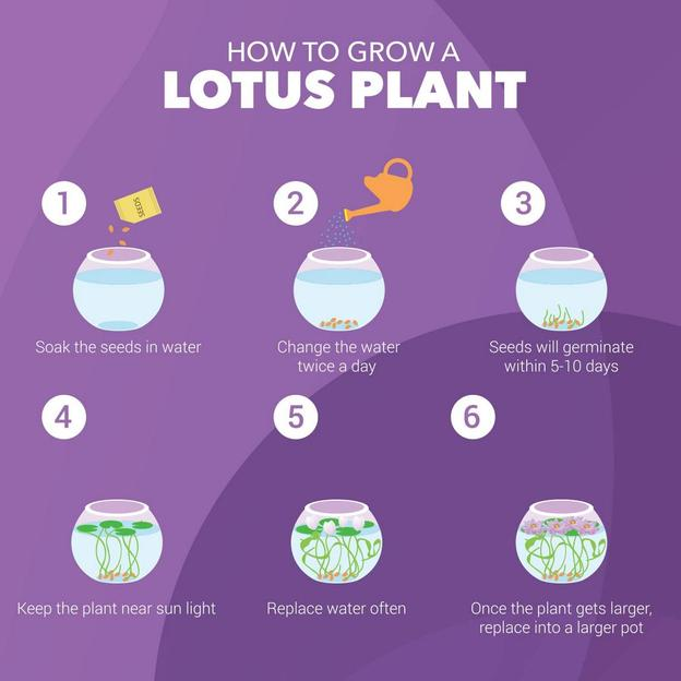 Aufzuchtset Lotuspflanze