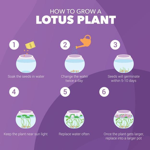 Kit pour faire pousser des fleurs de lotus