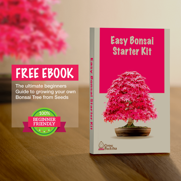 Aufzuchtset Bonsai