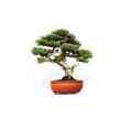 Grow it Bonsai DIY Baum