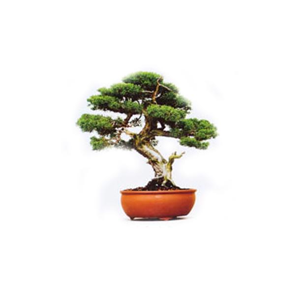 Plantez votre Bonsaï Kit Grow it DIY