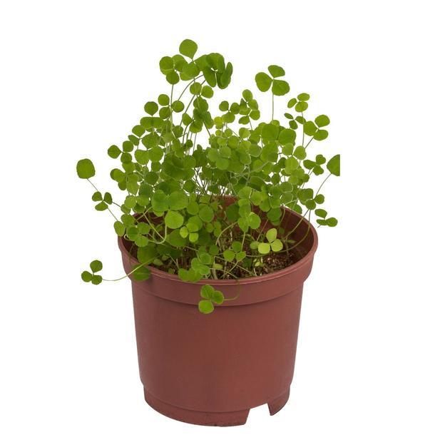 Glücksklee selber pflanzen