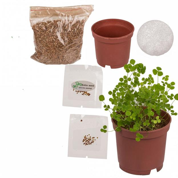 Trèfle à quatre feuilles à faire pousser